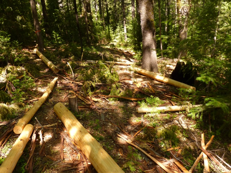 Felling Cedar, after shopping in the forest for our timber posts.