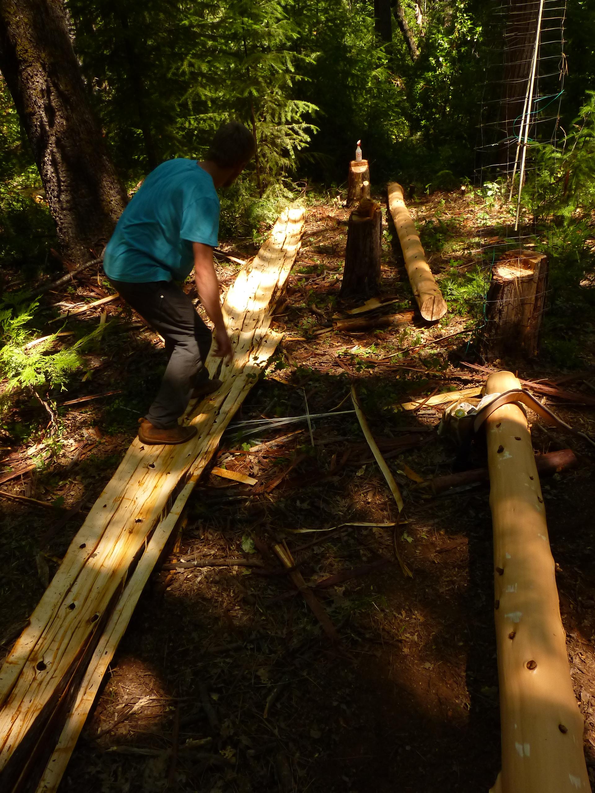 debarking cedars  oaks  and madrones