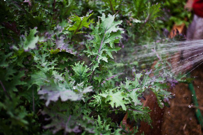 Kale Abundance